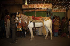Inde - cheval Marwari - 56